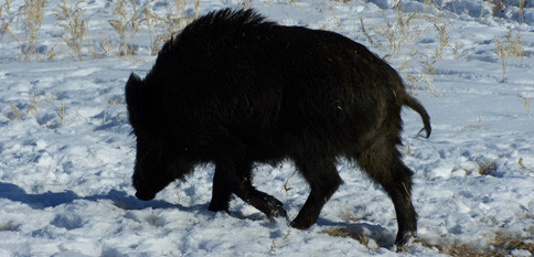 featured_boar